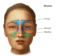 Illustration of the sinuses