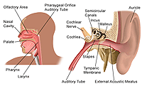 Anatomy of the ear, nose, and throat