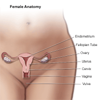 Anatomy of the female pelvic area